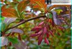 Pflanztechnik Berberitze und Pflege für sie: Tipps von Gärtner