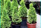 Fichte Konica Glaukom: Pflanzung und Pflege zu Hause + Bettwäsche