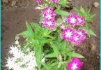 Drummond Phlox: Anbau von Saatgut, Pflanzung und Pflege