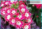Wir wachsen Phlox: wächst aus Samen, Frühling + Pflege der Pflanzung