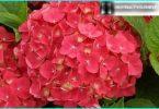 Hydrangea: die Geheimnisse der Pflanzung und Pflege von erfahrenen Gärtner