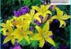Wir wachsen Lilien: Bepflanzung und Pflege Regeln + Geheimnisse Gärtner