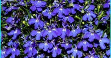 Lobelia: Anbau von Saatgut, Bepflanzung und Pflege, Pflanzung im Garten