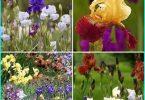 Die Anpflanzung von bauchige Iris + Anbau und Pflege