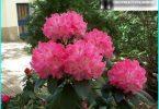 Rhododendren: Pflanzung, Pflege und Wartung, die alle über Reproduktion