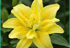 Das Einpflanzen Lilien im Frühjahr im Boden: die Empfehlungen von erfahrenen Gärten