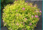 Spirea: Einpflanzen Regeln und eine Meisterklasse an der Pflege der Busch
