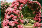 Anbau und Pflege Rosen im Frühjahr in Sibirien + wählen hardy Sorten