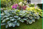 """Hosta in der Landschaftsgestaltung: wie man einen """"Schatten der Königin"""" in ihrem Garten wachsen"""
