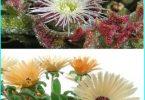 Dekorieren Sie den Garten mit Hilfe eines Kristallgras (mesembryanthemum und Doroteantus)